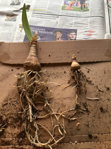Amaryllis bulb with roots ready for repotting
