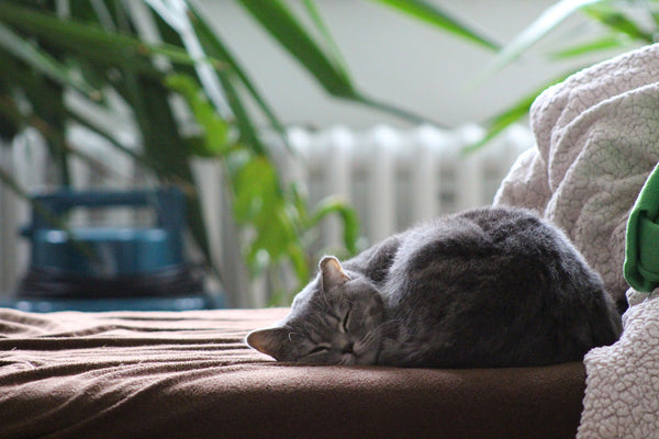 sleeping cat, cat indoors
