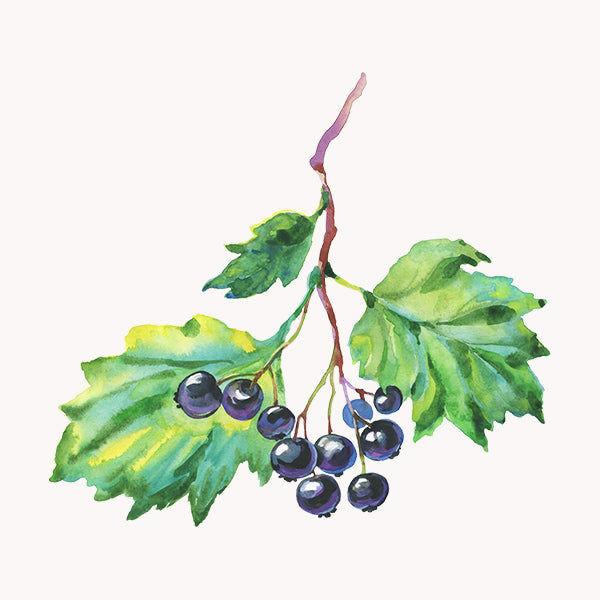 black currant illustration
