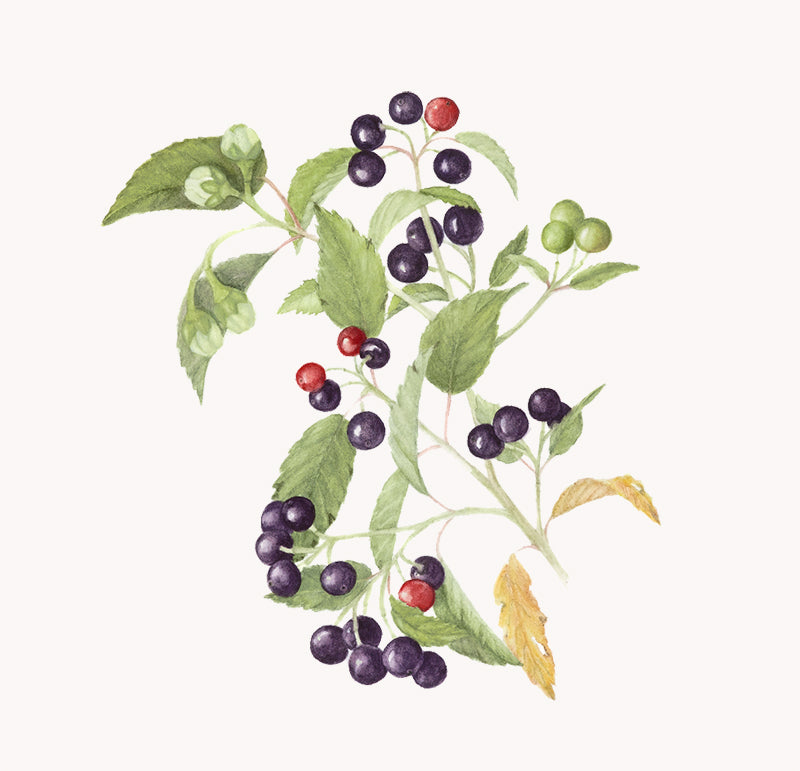maqui berries illustration