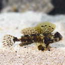 Scooter Blenny (Synchiropus ocellatus)