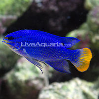 Orange tail Blue Damsel fish (Chrysiptera cyanea)