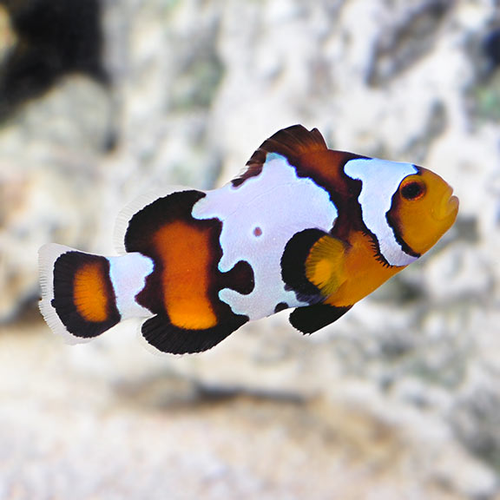 Black Ice Snowflake Clownfish  (Amphiprion ocellaris). PAIR