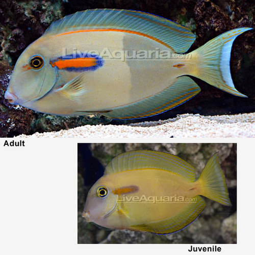 Orange shoulder Tang (Acanthurus olivaceus) Juvenile
