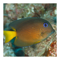 Blue/Yellow eye Kole  tang (Ctenochaetus binotatus),