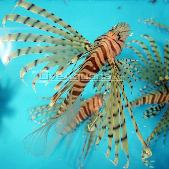 Russel lion fish (Pterois russelli)