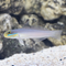 Blue Cheek Goby (Valenciennea strigata)