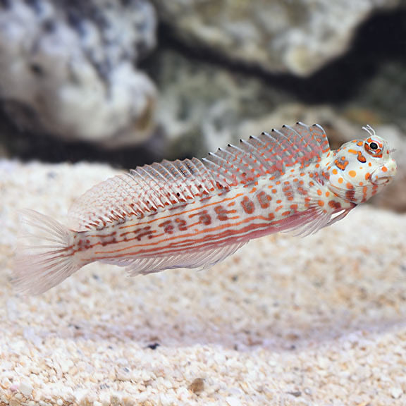 Red flame flymo blenny {Blenniella chrysospilos)