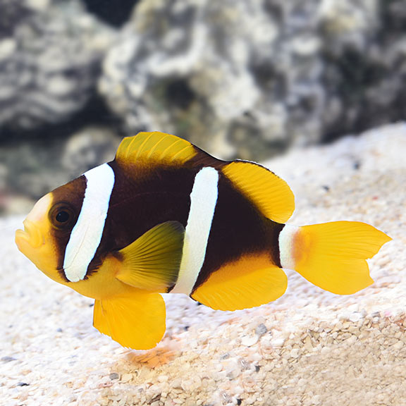 Clarkii Clownfish (Amphiprion clarkii) PAIR TANK BRED
