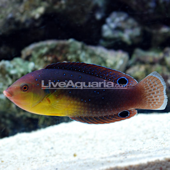 Yellowchest Twist Wrasse (Anampses twistii)