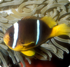 Blue strip clownfish (Amphiprion chrysopterus)
