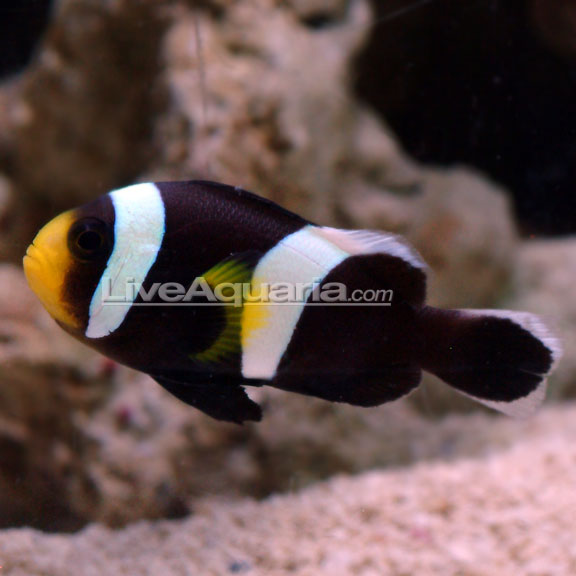 Black & White Saddleback Clownfish, (Amphiprion polymnus). PAIR