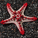 Red Knobbley Sea Star