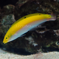 Silver Belly Banana Wrasse (Halichoeres trispilus)