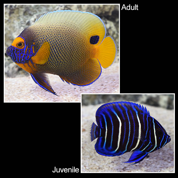 Blueface Angelfish (Pomacanthus xanthometopon) Adult