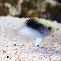 Try Coloured Rolland's Damselfish (Chrysiptera rollandi)