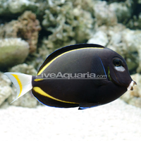 Gold Rim Tang/White cheek Tang (japonicus)