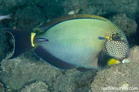 White freckled tang Acanthurus maculiceps