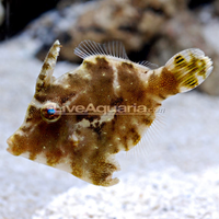 Emerald Aiptasia Eating Filefish (Acreichthys tomentosus)