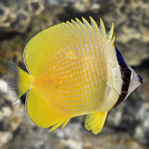 Orange Sunburst Butterfly fish (Chaetodon kleini)