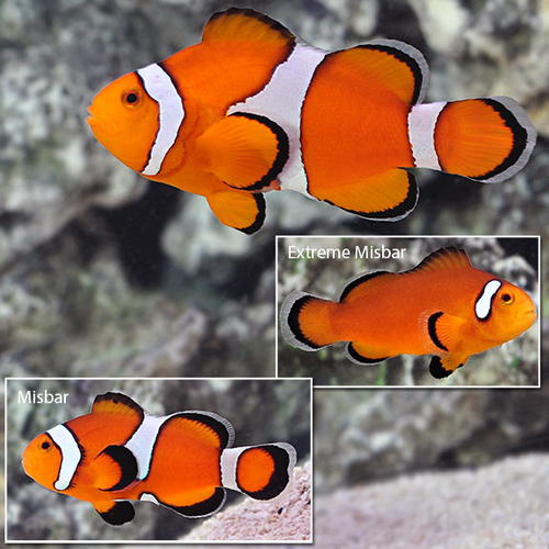 Tangerine/Orange Clown Fish Ocellaris