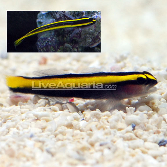 Golden Neon Goby (Elacatinus). Tank Bred