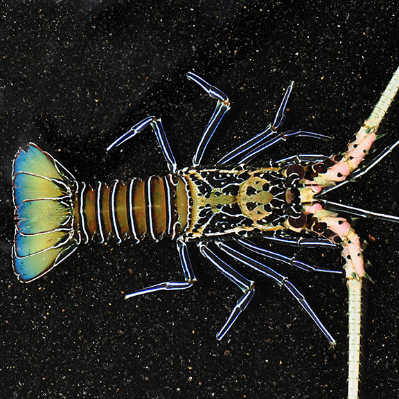Spiny Lobster, Blue (Panulirus versicolor)