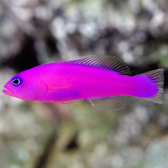 Strawberry Basslett Dottyback (Pictichromis Fridmani)
