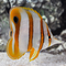 Copperband Butterflyfish (Chelmon rostratus)