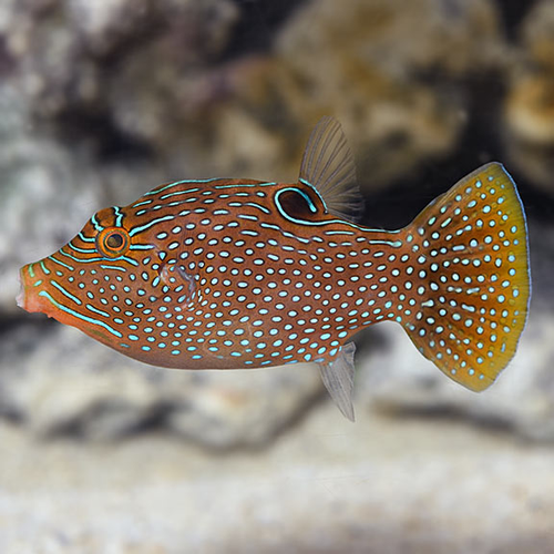 Blue Spotted Puffer (Canthigaster solandri