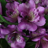 Alstroemeria Cote De Azur (Purple) - Pack of 120 stems - ifloral.com