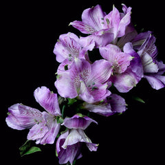 Alstroemeria Cartegena (Lavender) - Pack of 120 stems - ifloral.com
