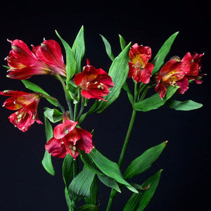 Alstroemeria Hot Pepper (Orange) - Pack of 120 stems - ifloral.com