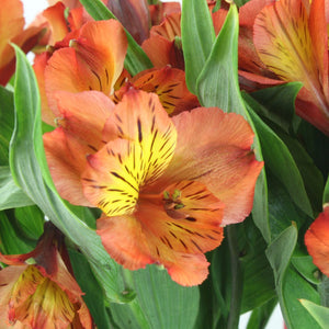 Alstroemeria (Orange) - Pack of 120 stems - ifloral.com