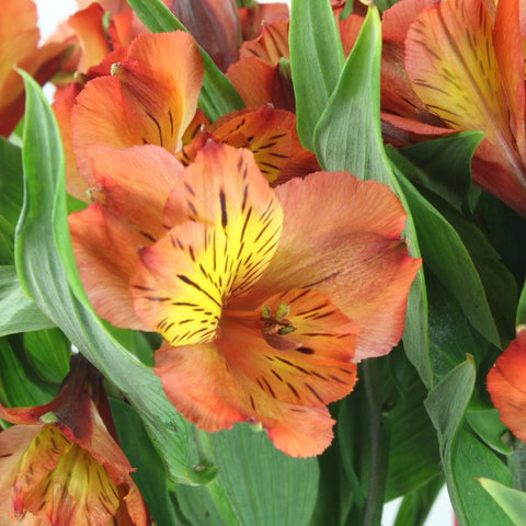 Alstroemeria (Orange) - Pack of 120 stems