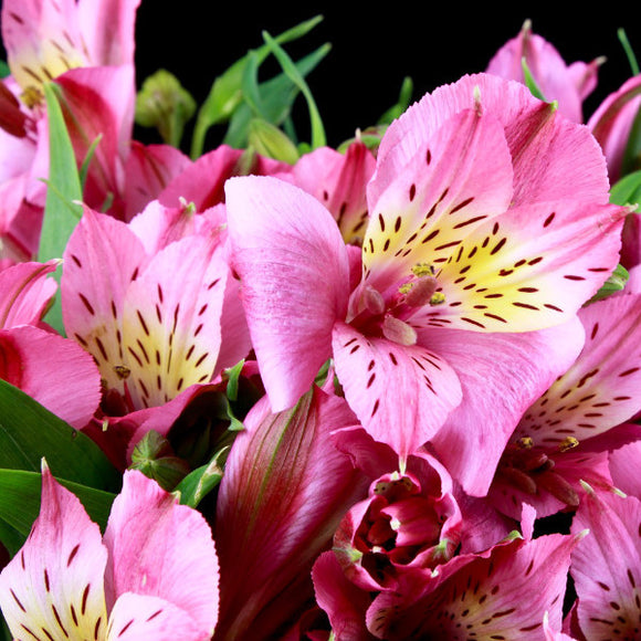 Alstroemeria Rosita (Hot Pink) - Pack of 120 stems - ifloral.com