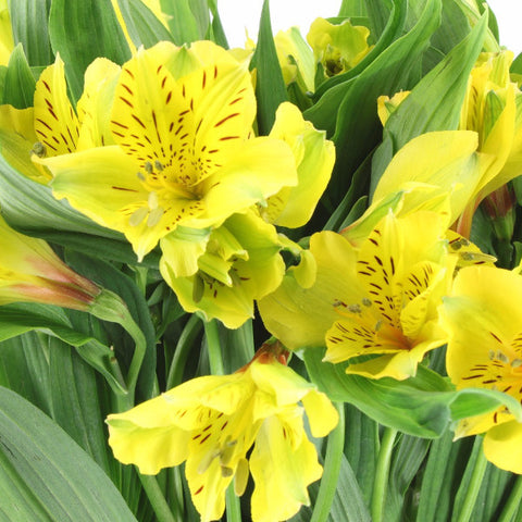 Alstroemeria Bellastar (Yellow) - Pack of 120 stems