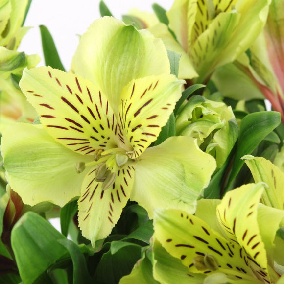 Alstroemeria (Green) - Pack of 120 stems - ifloral.com