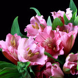 Alstroemeria Prima-Donna (Pink) - Pack of 120 stems - ifloral.com