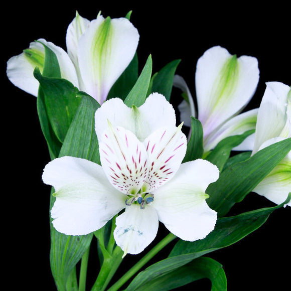 Alstroemeria Blanquita (White) - Pack of 120 stems - ifloral.com