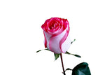 High and Candy Roses Bi-Color Cream Pink and White (Pack of 100 stems) - ifloral.com