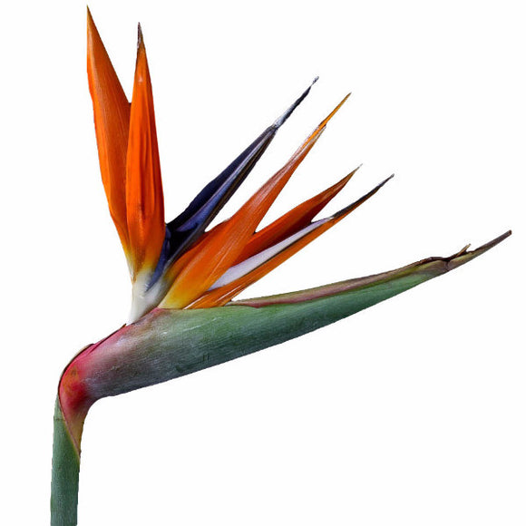 Birds of Paradise Exotic Tropical Flower (Pack of 30 stems) - ifloral.com