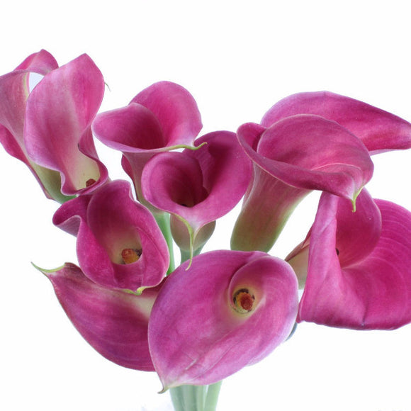 Standard Calla Lily (Glow Pink) - Pack of 40 stems - ifloral.com