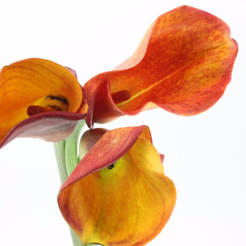 Standard Calla Lily (Mango Orange) - Pack of 40 stems