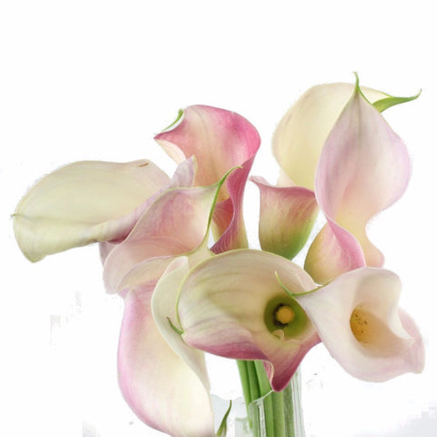 Standard Calla Lily (Pink Giant) - Pack of 40 stems
