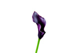 Standard Calla Lily Schwarzalder (Dark Purple) - Pack of 40 stems - ifloral.com