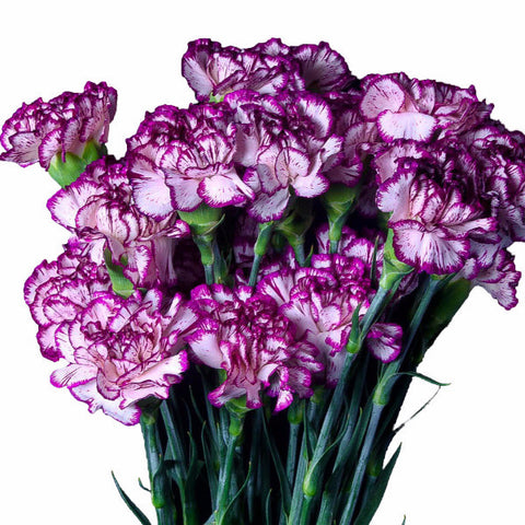Rendezvous Carnations (Sun Touch Collection), Fancy Grade (Pack of 150 stems)