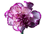 Rendezvous Carnations (Sun Touch Collection), Fancy Grade (Pack of 150 stems) - ifloral.com