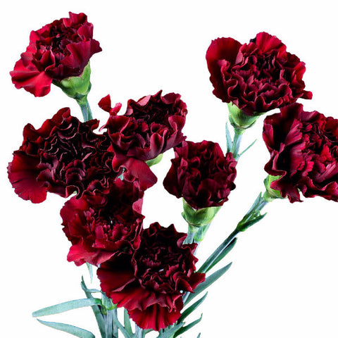 Burgundy Standard Carnations Wholesale, Fancy Grade (Pack of 150 stems)