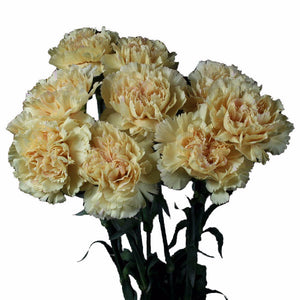 Cream Standard Carnations Wholesale, Fancy Grade (Pack of 150 stems) - ifloral.com